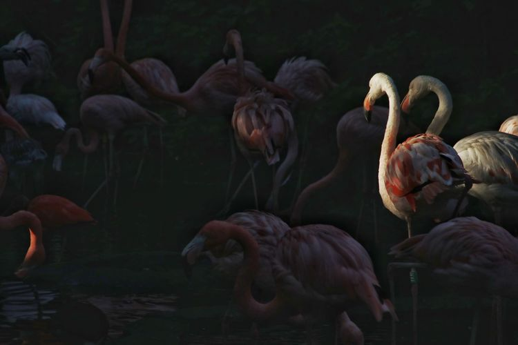 Dawn in patadise Flamingo Pink Color Pink Flamingos Tropical Climate Tropical Paradise Sunset Sunset_collection Dawn Collection Flamingo Bird Swan Eating Full Length Group Of Animals Tropical Bird Beak Capture Tomorrow