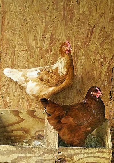 hen house Hen