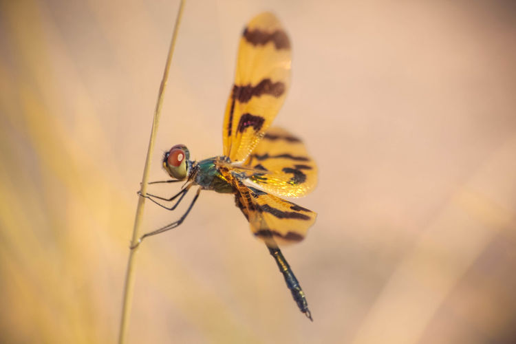 Close-up of dragonfly perching on stem