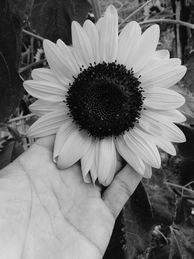sunflower Flower Petal Close-up Blossom Sunflower