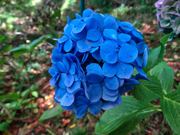 Beautiful flowers. Blue Plant Flowering Plant Flower Petal Beauty In Nature Close-up Growth Fragility Freshness Vulnerability  Leaf Inflorescence Plant Part Flower Head Nature Day Focus On Foreground Hydrangea No People Purple Bunch Of Flowers