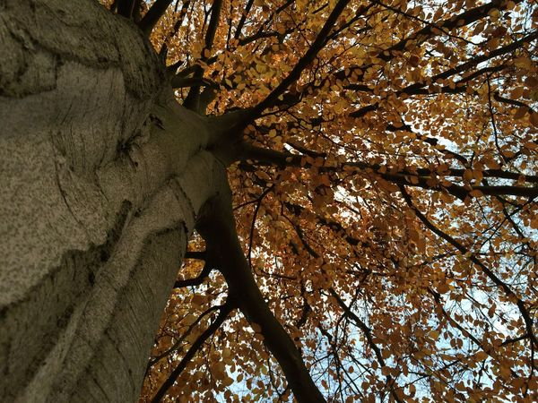 Autumn Beauty In Nature Branch Day Growth Low Angle View Nature No People Outdoors Scenics Sky Tall Tall - High Tranquil Scene Tranquility Tree Tree Trunk WoodLand