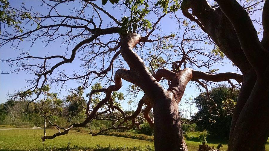 Curvy Gumbo Limbo trees, photographed in Florida. Branches Gumbo Limbo Trees Curvy Trees Florida Trees Curvy Branches EyeEmNewHere Spooky Trees Spooky