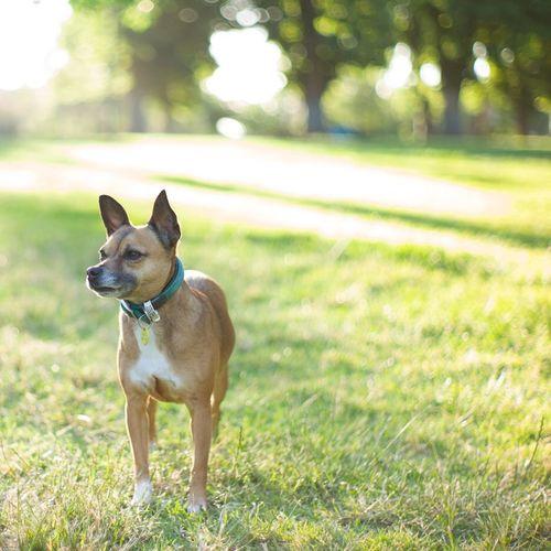 Roxanne Dog I Love My Dog LeicaM9 Leica Summilux Melbourne