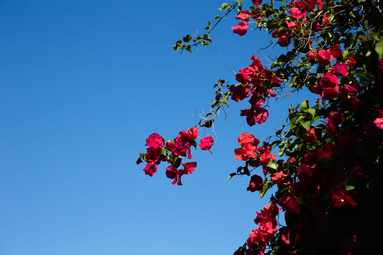 red blossoms against blue sky Flowering Plant Flower Plant Beauty In Nature Red Freshness Nature Plant Part Leaf No People Outdoors Springtime Clear Sky Tree Sky Red Flower Blue
