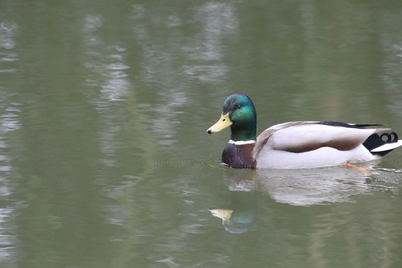 Animal Themes Animal Wildlife Animals In The Wild Beauty In Nature Bird Day Duck Looking Looking At Camera Mandarin Duck Nature No People One Animal Outdoors Reflection Surrey Countryside Water Waterfront Wey Wey Navigation