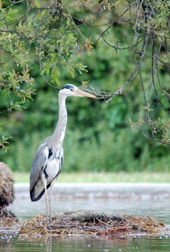 Close-up of gray heron perching on tree by lake