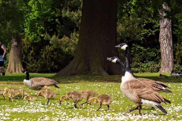 Animal Animal Family Animal Themes Animal Wildlife Animals In The Wild Bird Canada Goose Day Field Goose Gosling Grass Group Of Animals Land Nature No People Outdoors Plant Tree Tree Trunk Trunk Vertebrate Young Animal