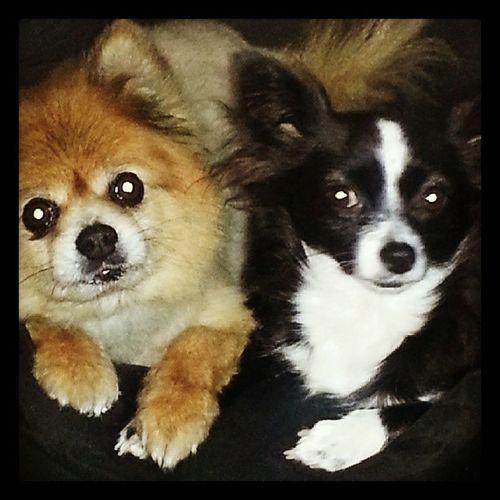 The children Dogs Instadogs Poopoo Pikachu Snuggles Instalove Dogsofinstagram Cute Pets Petsofinstagram InBed