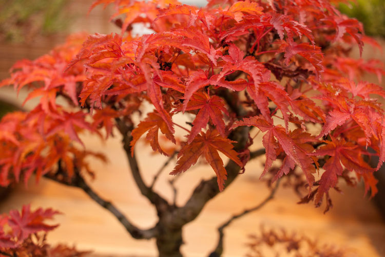 Autumn Beauty In Nature Bonsai Bonsai Tree Branch Change Close-up Day Focus On Foreground Fragility Freshness Growth Leaf Maple Maple Leaf Maple Tree Nature No People Outdoors Plant Selective Focus Tree