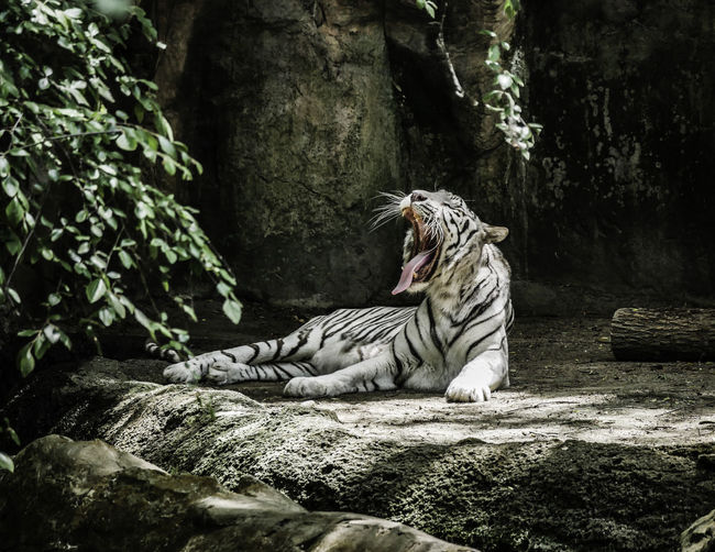 White tiger yawning while sitting in forest