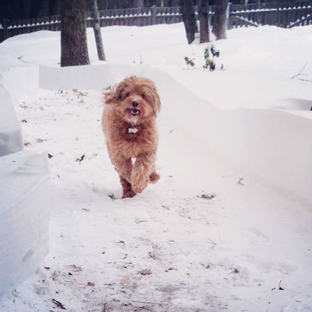 Labradoodle Snow Day Playtime Animal Photography Animal Portrait Puppy Love Chewbacca Look Alikes