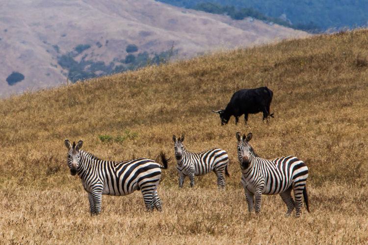 Zebras On Grassy Field