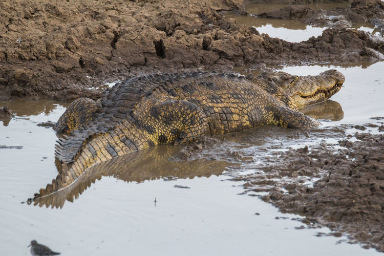 View of crocodile in river
