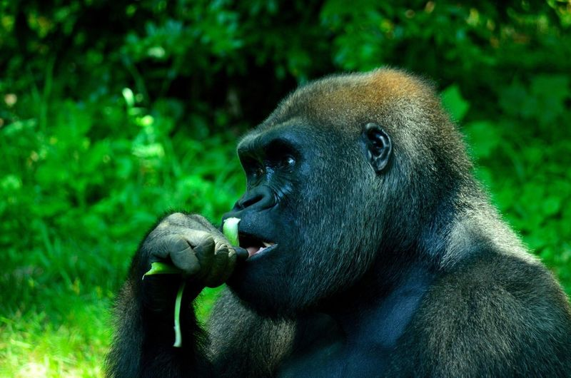 Gorilla Monkey Animals Animal Animals In The Wild Animal Photography Animal Head  Animal_collection Animal Love Animal Themes Animal Body Part Gorillaz Eating Healthy Green Black