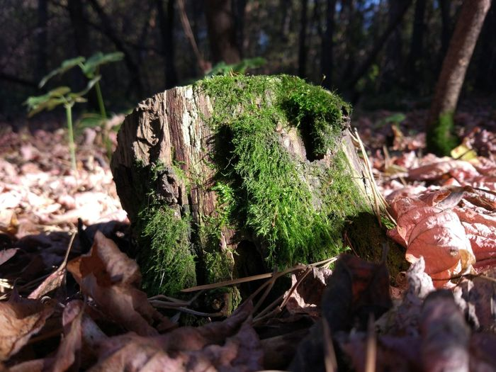 Plant Tree Forest Land Day Nature Moss Close-up No People Growth Mushroom Tree Trunk Vegetable Selective Focus Trunk Focus On Foreground Fungus Field Bark Outdoors Toadstool