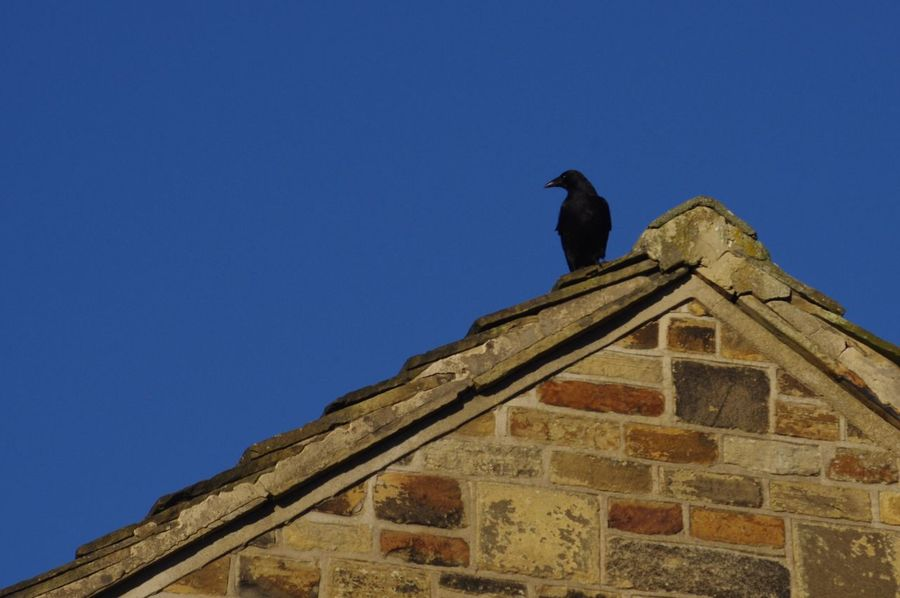 Crow Bird Roof Rooftop Apex House Avian Birds Bird Photography Birds_collection Birds Of EyeEm  Birdwatching Blue Sky Building Exterior One Animal Animal Themes Wildlife Clear Sky Architecture Outdoors Day Perching Built Structure Animal Wildlife