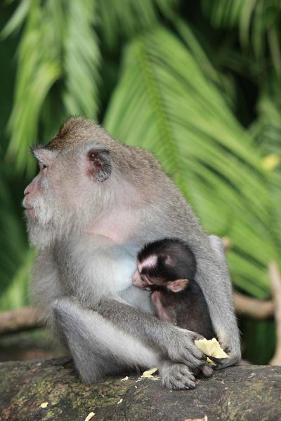 Baby Monkey and its mother in Indonesia Bali INDONESIA Monkey Family Monkeys Mother And Son Animal Themes Animal Wildlife Animals In The Wild Baby Monkey Close-up Day Mammal Monkey Monkey Forest Monkey Forest Ubud Nature Outdoors Two Monkeys Ubud
