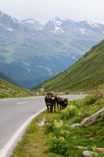 View of cow cart on mountain road