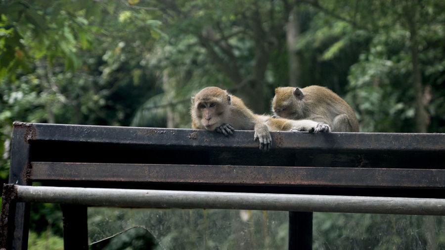 Close-Up Of Monkeys On Railing Against Trees