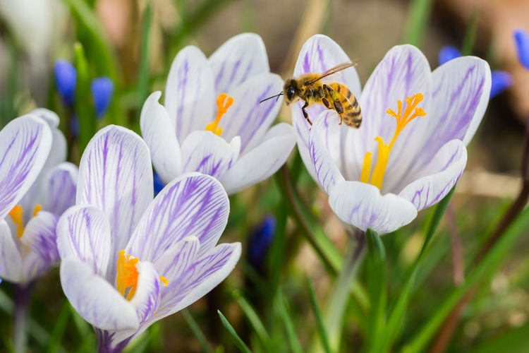 Bee in focus Animal Themes Animal Wildlife Animals In The Wild Beauty In Nature Bee Blooming Buzzing Close-up Crocus Flower Flower Head Focus On Foreground Fragility Growth Insect Macro Macro Photography Nature One Animal Outdoors Petal Plant Spring