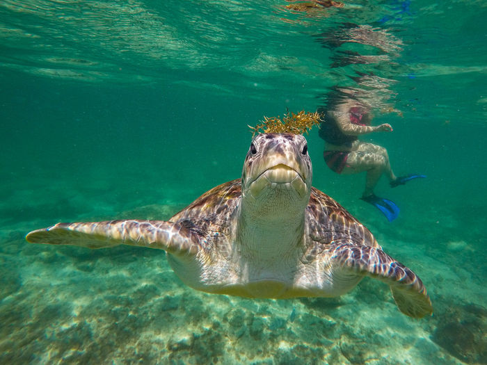 Water Sea Underwater Animals In The Wild Swimming Animal Wildlife Animal Themes Animal Reptile Sea Life Turtle Nature UnderSea One Animal Marine Sea Turtle Vertebrate No People Day Turquoise Colored Outdoors