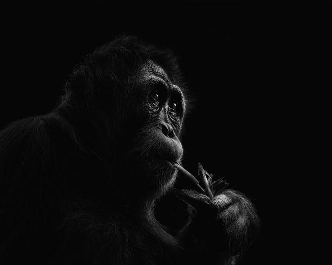 Close-up of an orang-utans looking away in low key