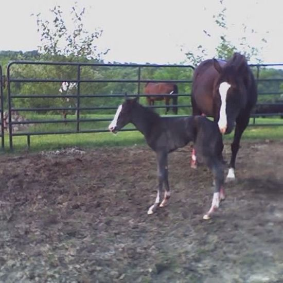 Babyhorse Nibby Filly Dautherlikemother