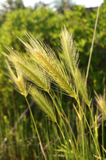 Summer EyeEm Best Shots Colorful Exterior Outdoors Countryside Green Nature Cereal Plant Agriculture Wheat Crop  Close-up Plant Green Color Ear Of Wheat Farmland Agricultural Field Grain Straw Plough Hay Bale Scarecrow Damselfly Cultivated Land Barley Farm Bale  Stalk Oilseed Rape My Best Photo