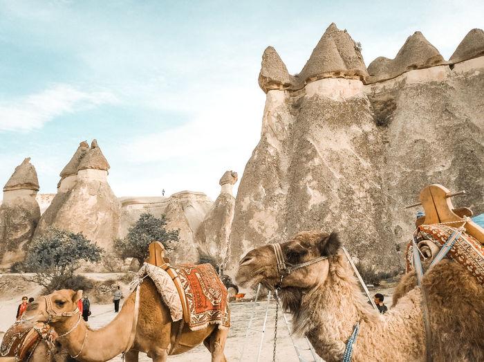 Animals In The Wild Animal Turkey Middle East Cappadocia Camel Mushroom Rock Travel Fujifilm