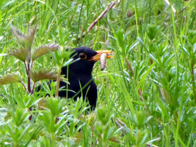Zoom ♡ Mahlzeit😄 Amsel mit Leckerli😄 Blackbird With Worm Enjoyinglife  Celebrate The Little Things For My Friends 😍😘🎁 Enjoying The View Eye4photography  Simple Beauty Beauty In Nature Springtime💛 Animals In The Wild Maximum Closenes Life Is Motion Captured The Moment