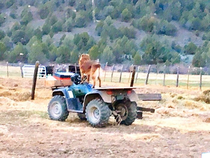 Agriculture Ranch Life Working Hard Patiently Waiting Cattledog Works For A Living Riding The 4 Wheeler Waiting For My Cue Minding My Business Lifestyles Outdoors Love Photography Dogs Ranch Hand Opie The Cowdog