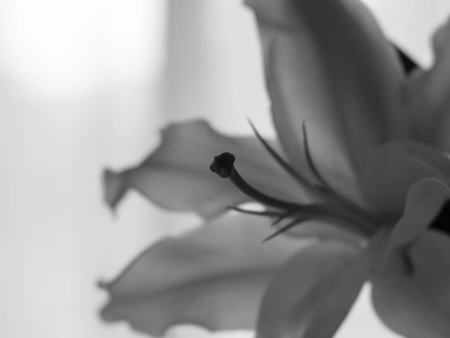 Nature Blackandwhite Monochrome Simplicity Bw_collection EyeEm Nature Lover Shillouette Flowers Flowerporn Lily