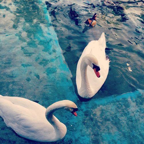 Swan Whiteswan Erbil Hawler Kurdistan Dawarestauramt Dawa2 White Bird
