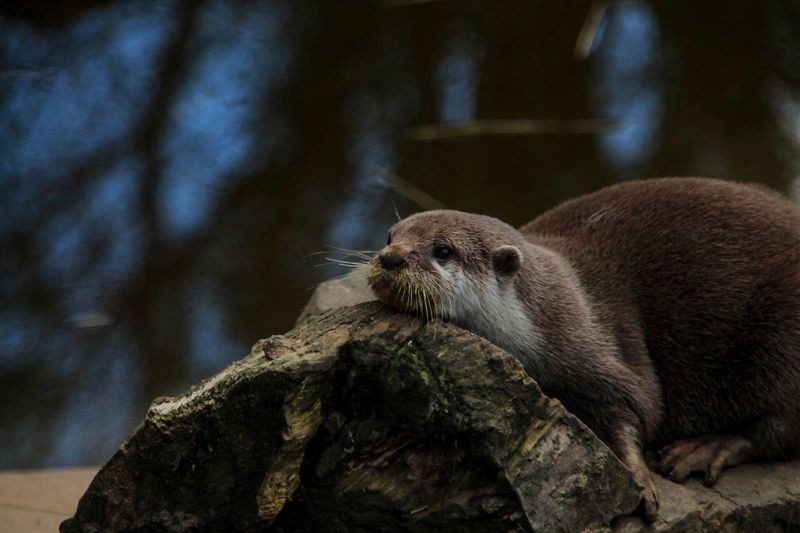 An otter at a rescue sanctuary.