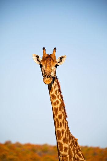 Portrait of giraffe against clear sky