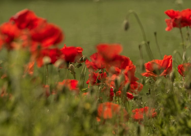 Knutsford Poppies  Flower Flowering Plant Plant Freshness Red Growth Vulnerability  Fragility Beauty In Nature Nature Selective Focus Inflorescence Poppy Flower Head No People Petal Field Close-up Green Color Day