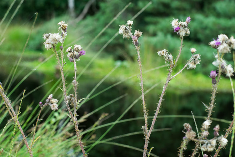 Beauty In Nature Close-up Day Flower Flower Head Focus On Foreground Fragility Freshness Grass Growth Nature No People Outdoors Plant