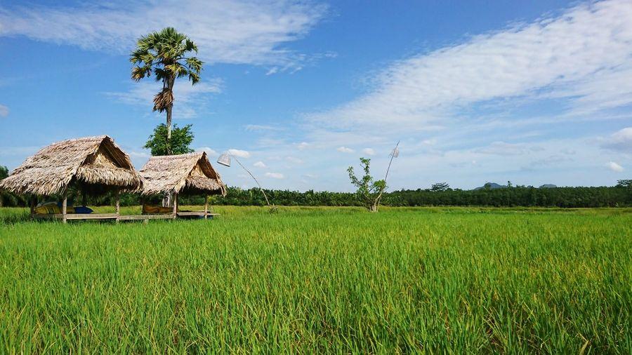 Rice paddy Blue