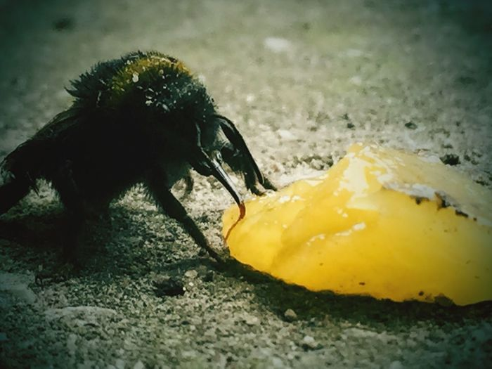 I found a bee stuggling... So I fed it some mango for an energy boost. First Eyeem Photo