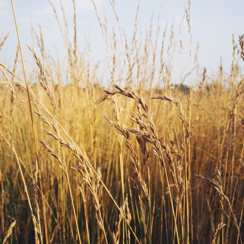 EyeEm Selects Nature Sky Beauty In Nature Cereal Plant No People Day Growth Agriculture Plant Crop  Field Rural Scene Tranquility Wheat Outdoors Ear Of Wheat Close-up Tree