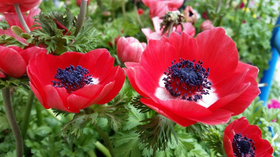 Spring Has Arrived Red Poppies Amazing Colors Appreciating Life