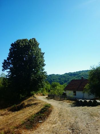 Big Tree of Lime, symbol of Village. Nature View Countryside Summer Serbia Srbija