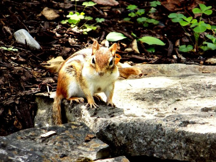 Nature Chipmunk Outdoors Little Guy Got Nuts ?