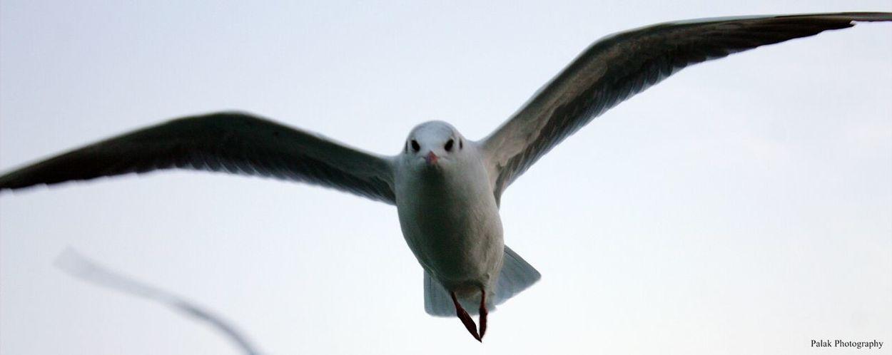 Bird Flyingbird Whitebird Centerfocus