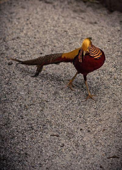 goldfasan EyeEm Selects Nature Photography Tierfotografie Tier Goldfasan Fasan Gold Pheasant Pheasant Pets Full Length Close-up