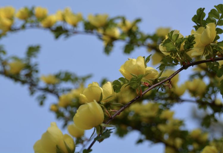 Beauty In Nature Blooming Branch Clear Sky Close-up Day Flower Fragility Freshness Fruit Growth Leaf Low Angle View Nature No People Outdoors Sky Tree Yellow
