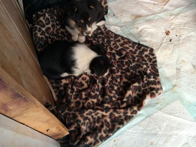 borgis Corgipuppies Dog Puppy EyeEm Selects High Angle View Animal Themes Close-up Animal Skin
