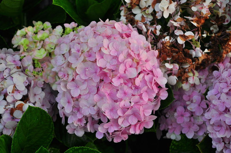Beauty In Nature Blooming Close-up Day Flower Flower Head Fragility Freshness Growth Hydrangea Leaf Nature No People Outdoors Petal Plant