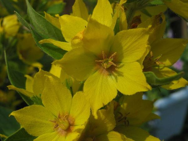 Yellow garden flowers Yellow Flower Yellow Flower Flower Head Close-up Nature Plant Garden Flower Summer Loosestrife